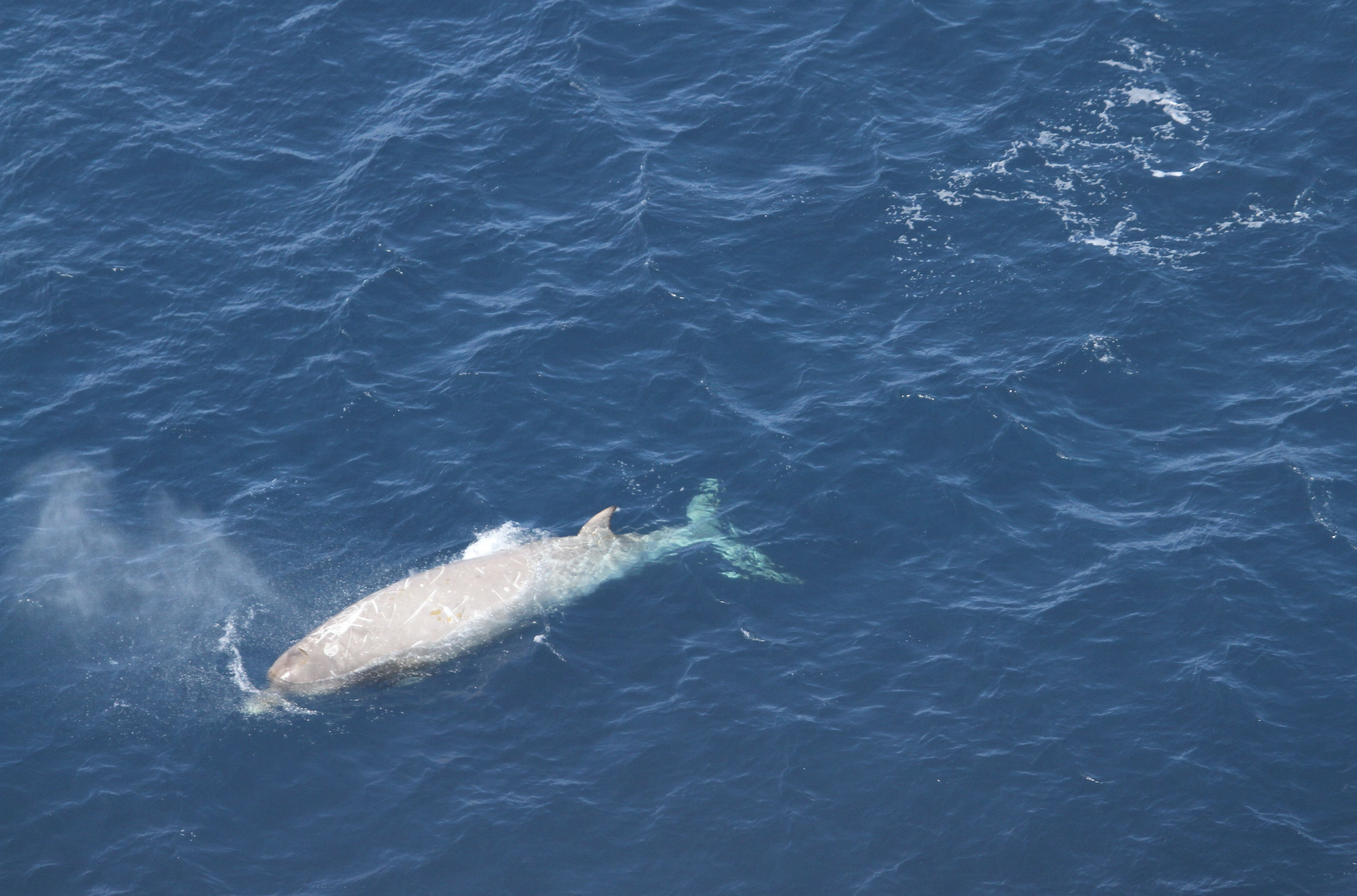 Southern bottle-nosed whales prefer the open seas and are only seldom found near the coast.