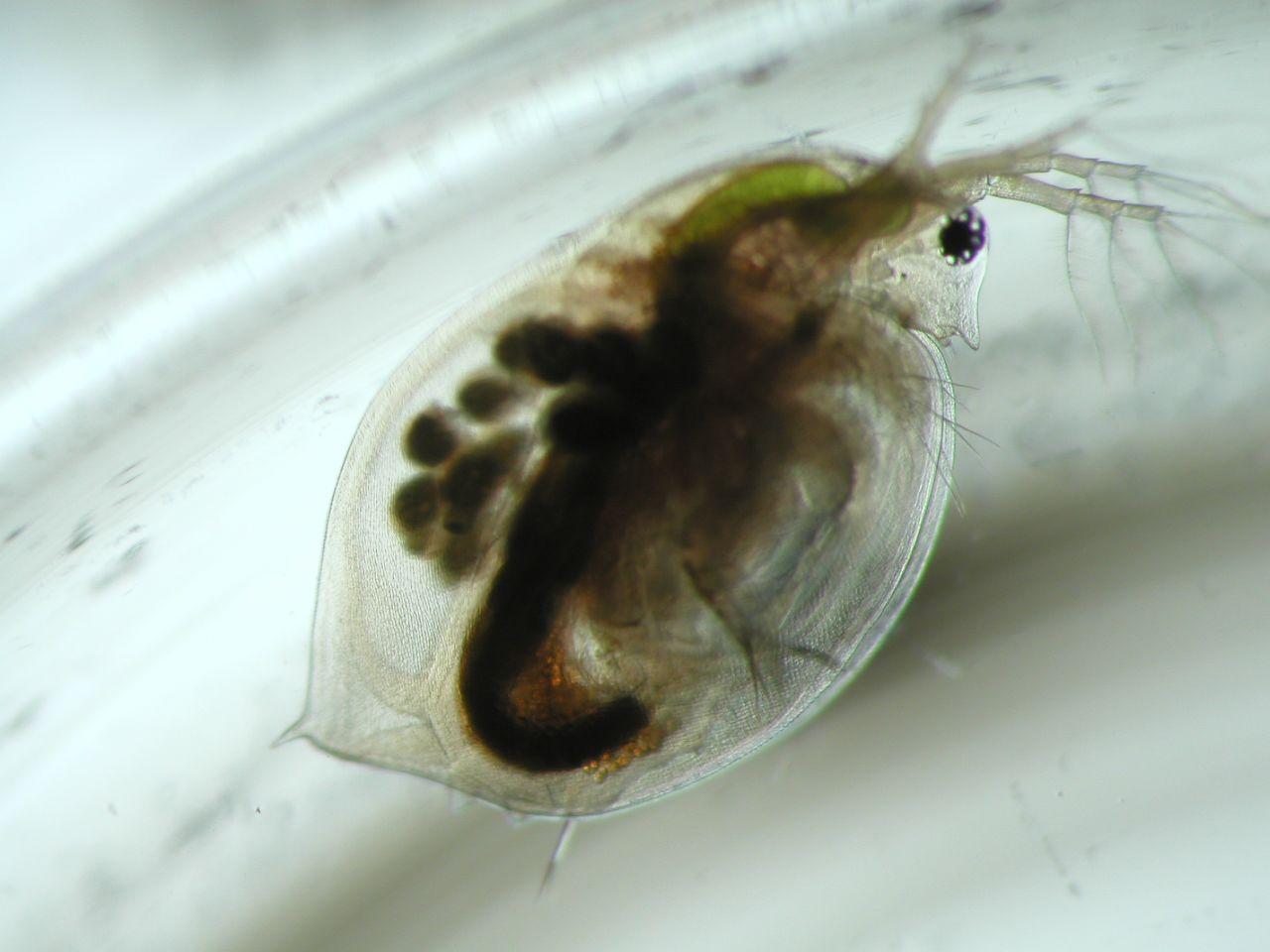 Ein Wasserfloh in einem Glasgefäß von ganz nah photographiert. sein Körper ist durchsichtig, sodass man sein Inneres sehen kann.
