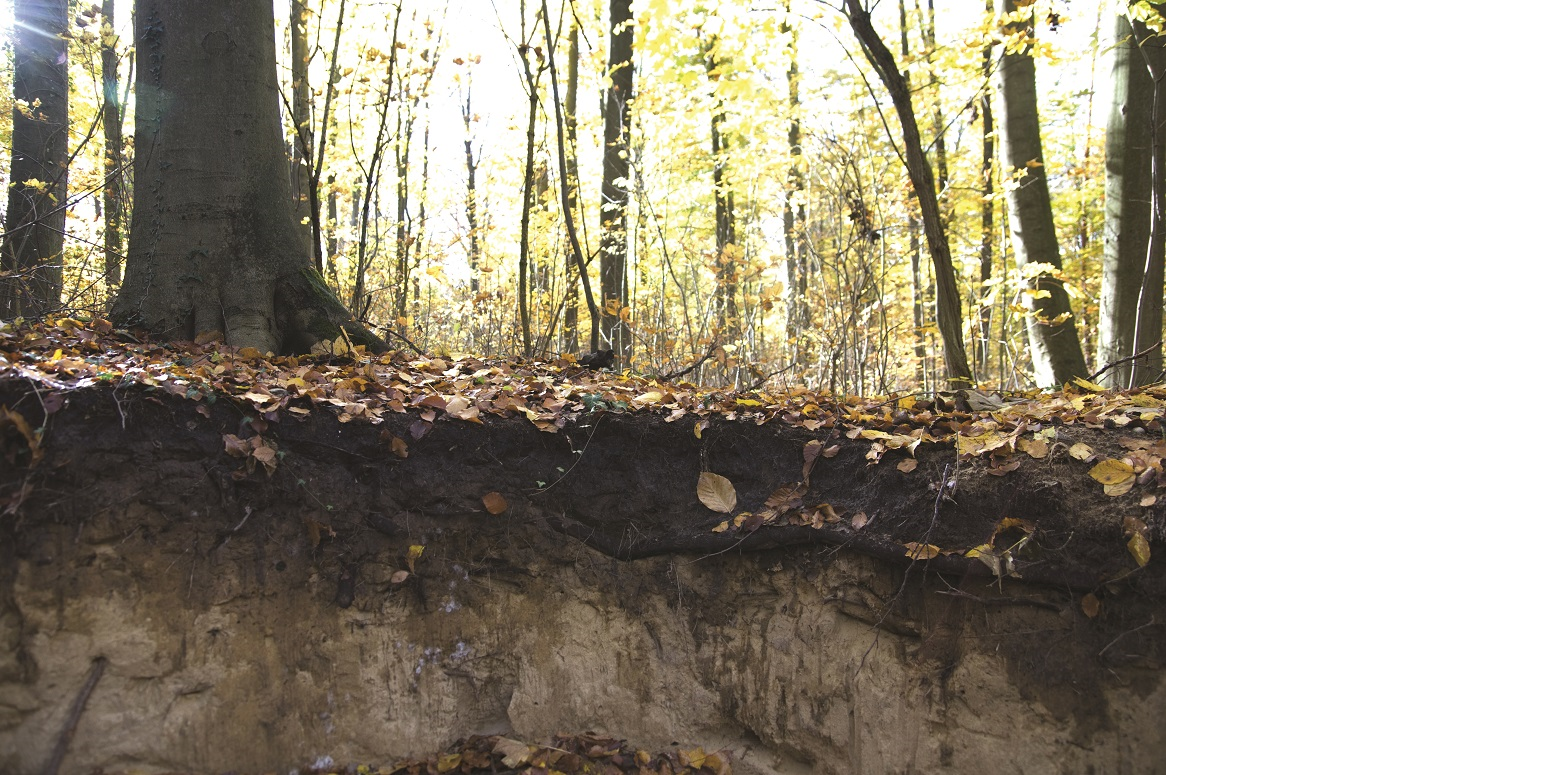 Das Bild zeigt das Bodenprofil eines Waldes. Den oberen Horizont bildet eine mächtige Humusschicht.
