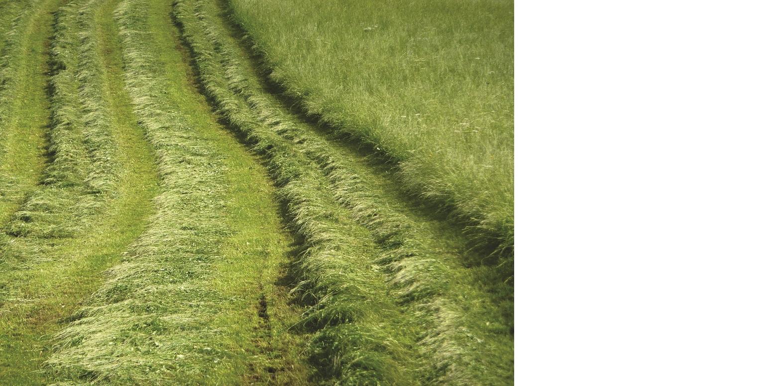Das Bild zeigt ein gemähtes Dauergrünland, auf dem das frisch geschnittene Gras noch in Reihen liegt.