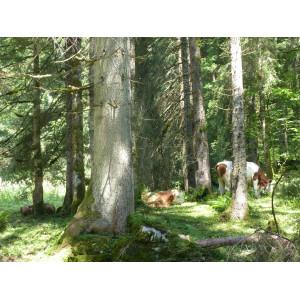 Waldkühe