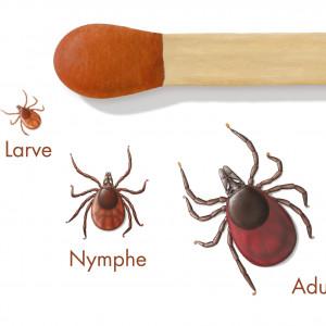 Erwachsene Zecken sind so groß wie eine Streichholzkuppe, Nymphe und Larve dagegen kleiner