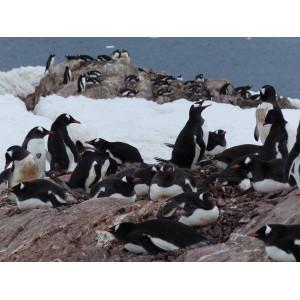 Eselspinguine: Kolonie an der Antarktischen Halbinsel