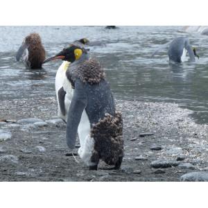 Ein Jungtier und ein ausgewachsener Königspinguine in der Subantarktis