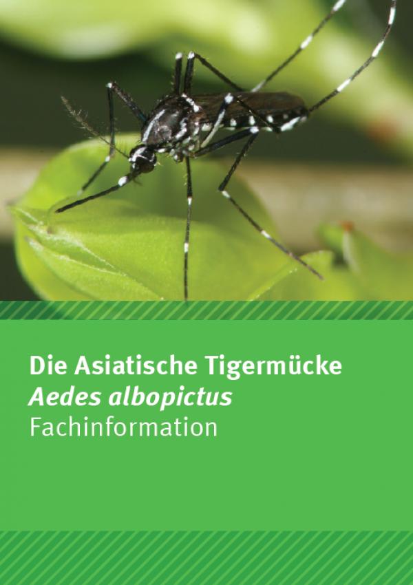 Eine schwarze, asiatische Tigermücke mit weißen Streifen