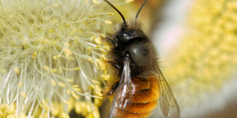 Mauerbiene bei der Pollensuche
