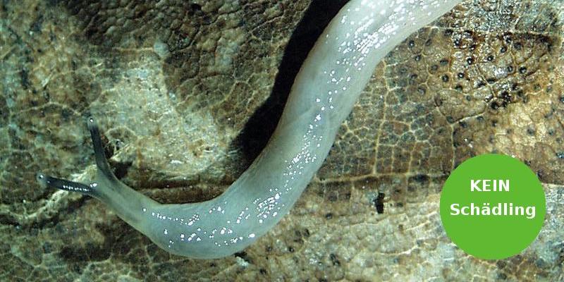 Der Wurmschnegel (Boettgerilla pallens)