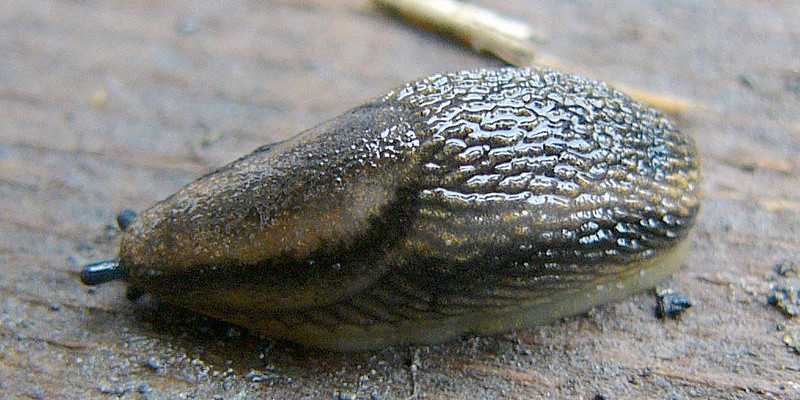 Eine grau-weiss gestreifte Gartenwegschnecke (Arion distinctus/A. hortensis)
