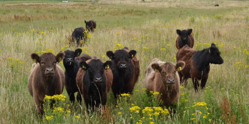 Foto: Eine Gruppe schottischer Hochlandrinder in einer artenreichen Langgraswiese. Im Hintergrund ist Wald zu sehen.
