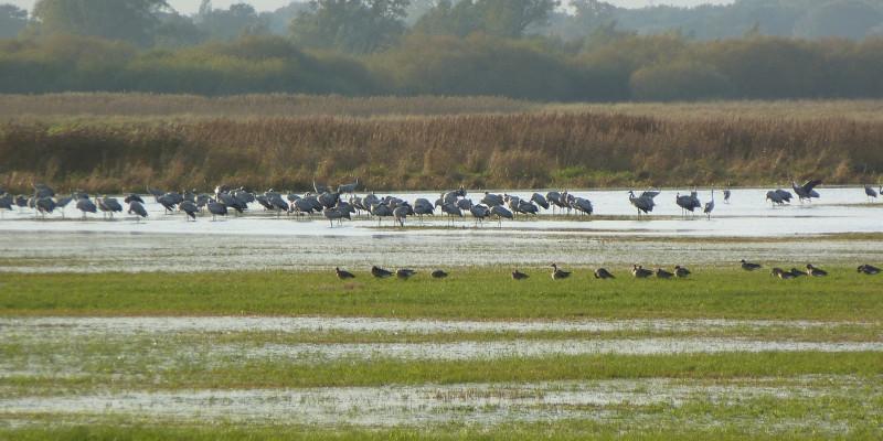 Foto: Gruppen verschiedener Vogelarten suchen in den vernässten Bereichen der Wümmeniederung nach Nahrung oder Brutplätzen.