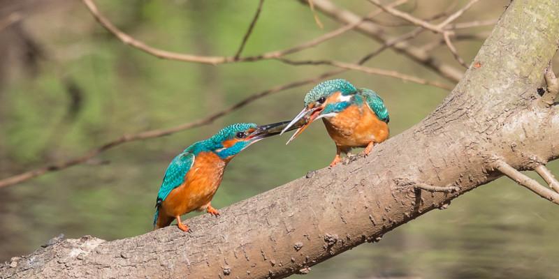 Foto: Zwei Eisvögel sitzen auf einem schweren Ast über einem Gewässer. Zusammen halten sie einen Fisch im Schnabel fest.