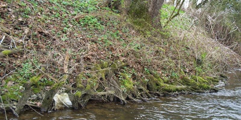 Foto: Wurzeln an einem steilen und tiefen Ufer reichen ins Gewässer hinein.