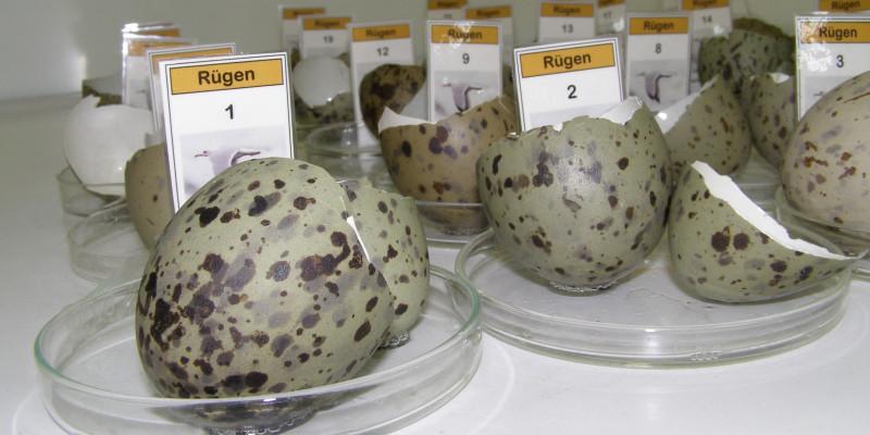 Storage of herring gull egg shells at the University of Trier