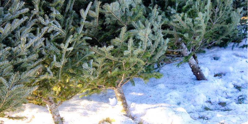 Frisch geschlagene Weihnachtsbäume