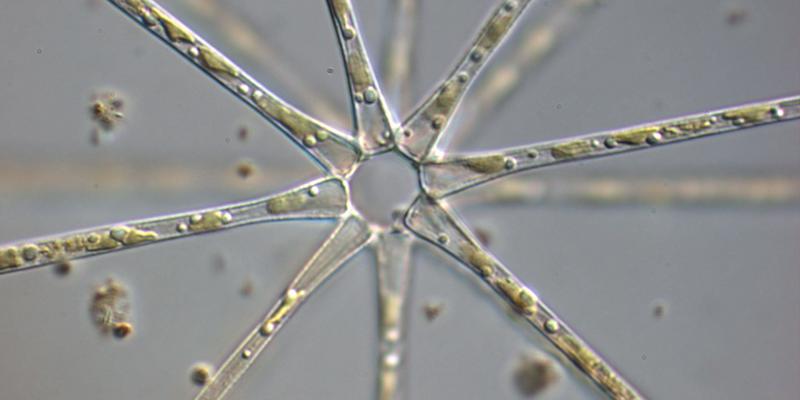 Mikroskopaufname vom Schwebesternchen