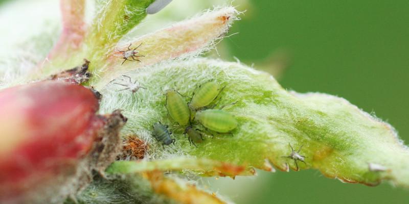 Junger Apfelbaumtrieb mit Apfelgrasläusen.