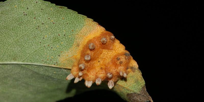 Unterseite eines Birnenblatts mit gitterförmigen Sporenlagern.