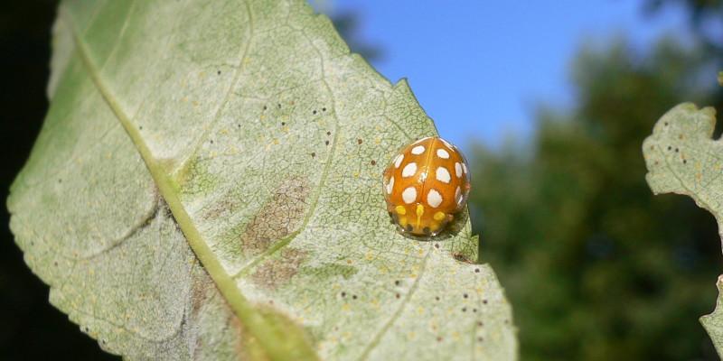 Marienkäfer auf einem von Mehltau befallenen Blatt der Gemeinen Esche.