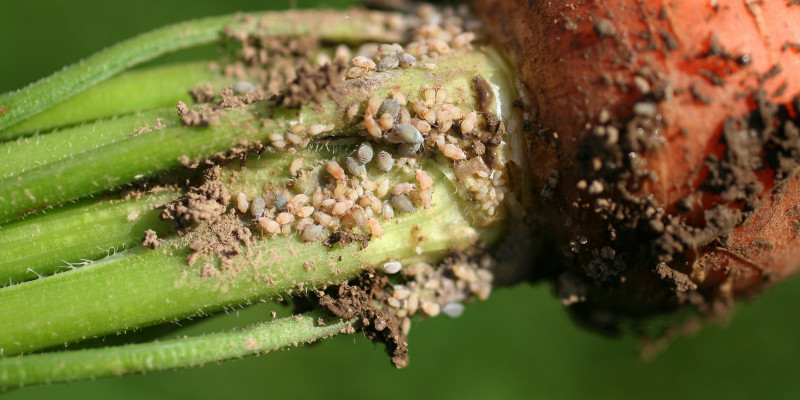 Wurzelhals einer Mohrrübe mit Befall durch die Möhrenwurzellaus.