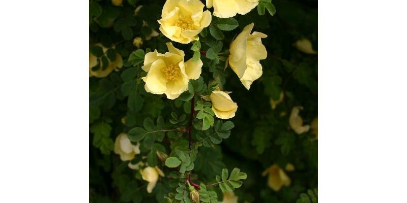 Rosa hugonis-Rosenstock mit zahlreichen gelbe Blüten