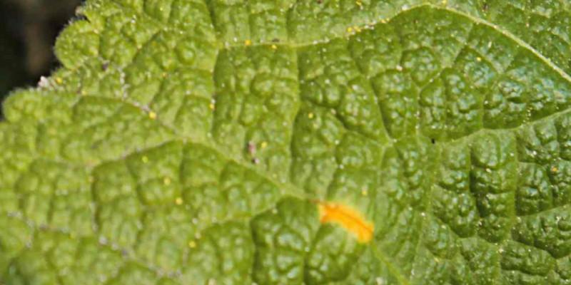 Oberseite eines Malvenblattes mit orangen Flecken des Malvenrosts