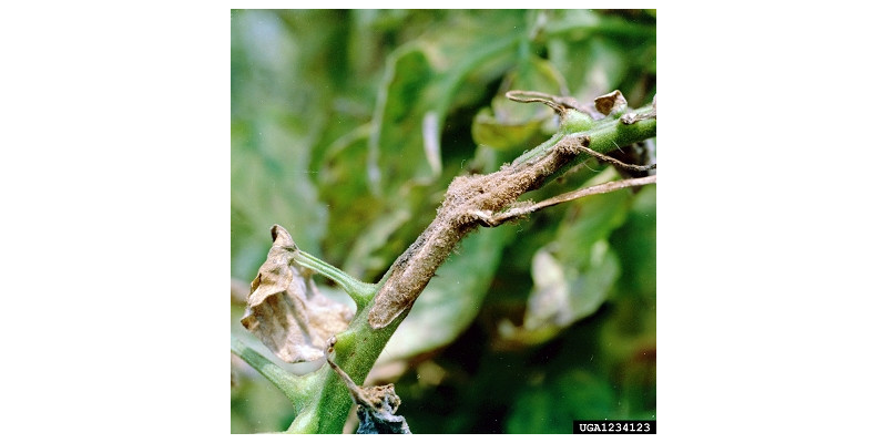Tomatenpflanze mit Dürrfleckenkrankheit (Alternaria solani)