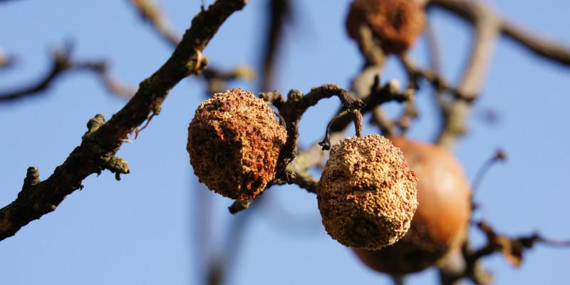 Eingeschrumpelte am Baum hängengebliebene Früchte