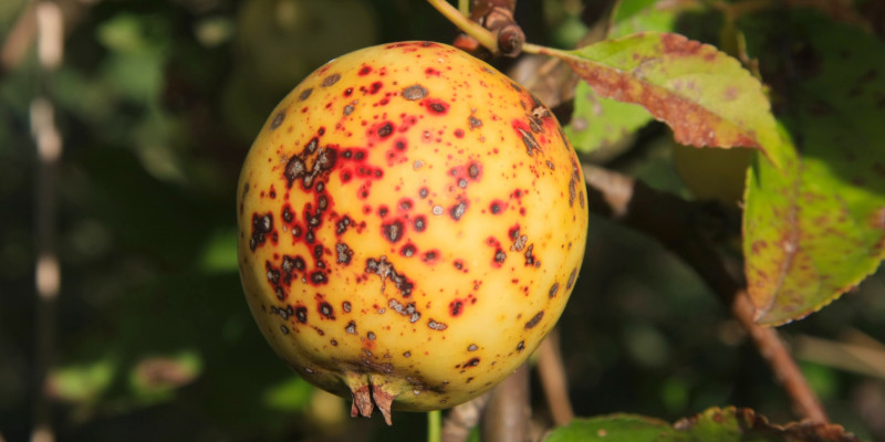Gelber Apfel mit Flecken durch Apfelschorfbefall