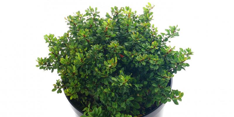 Berberitze (Berberis buxifolia) 'Kobold'