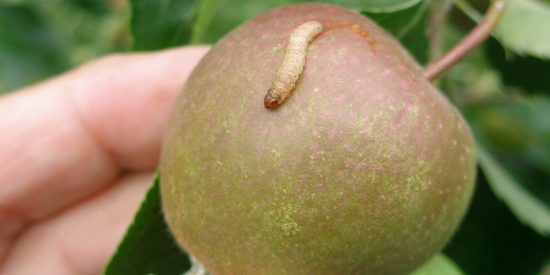 Apfelwicklerlarve auf einem Apfel