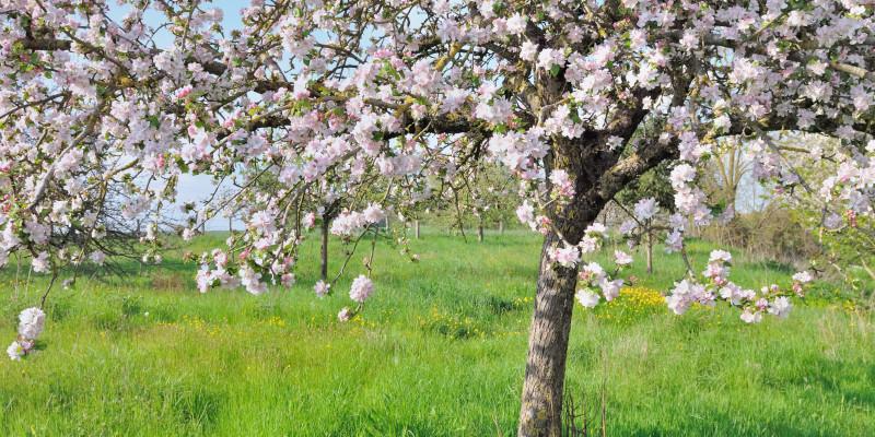 Blühender Apfelbaum auf einer Wiese