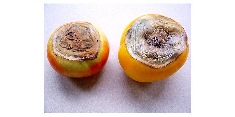 Zwei Tomaten mit Blütenendfäule