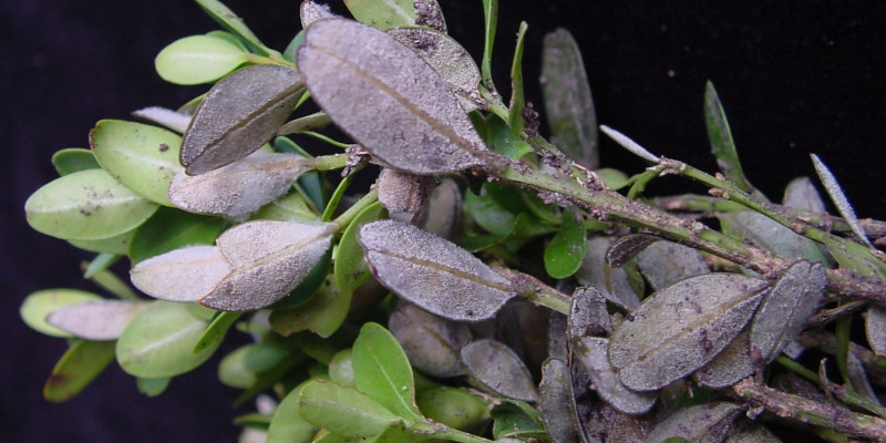 Weißer Sporenrasen von Cylindrocladium buxicola auf der Unterseites eines Buchsblattes.