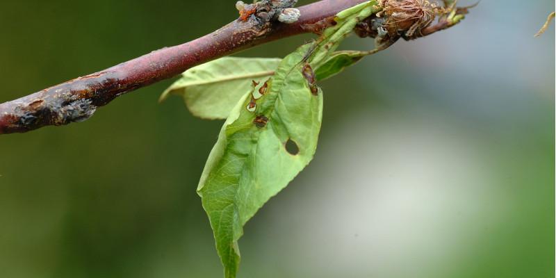 Durchlöchertes Kirschblatt