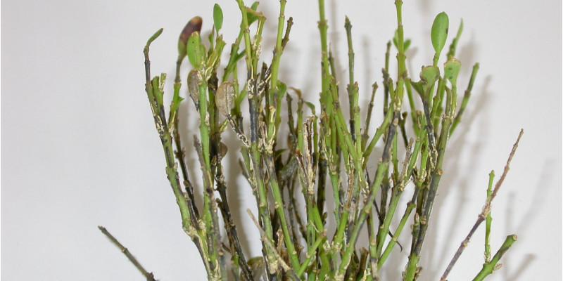 Senkrechte schwarze Streifen auf den Trieben eines mit Cylindrocladium buxicola befallenen Buchsbaums.