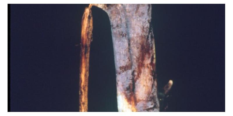 Blauviolette Rindenverfärbungen sind ein typisches Kennzeichnen der Himbeerrutenkrankheit.