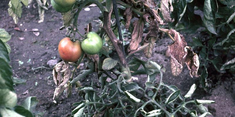 Frucht- und Stängelfäule an Tomatenpflanze mit Früchten