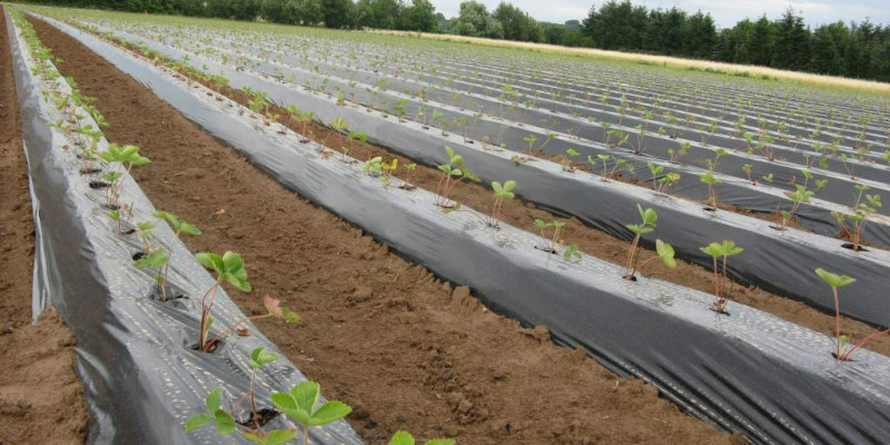 Erdbeeranbau auf Erddämmen