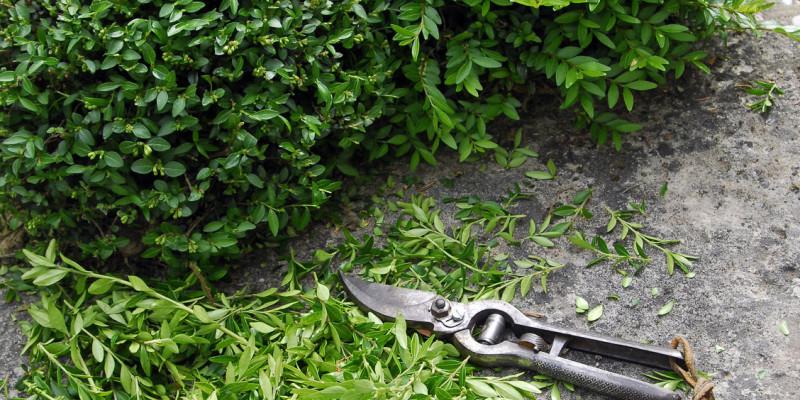 Glänzende Heckenkirsche (Lonicera nitida)