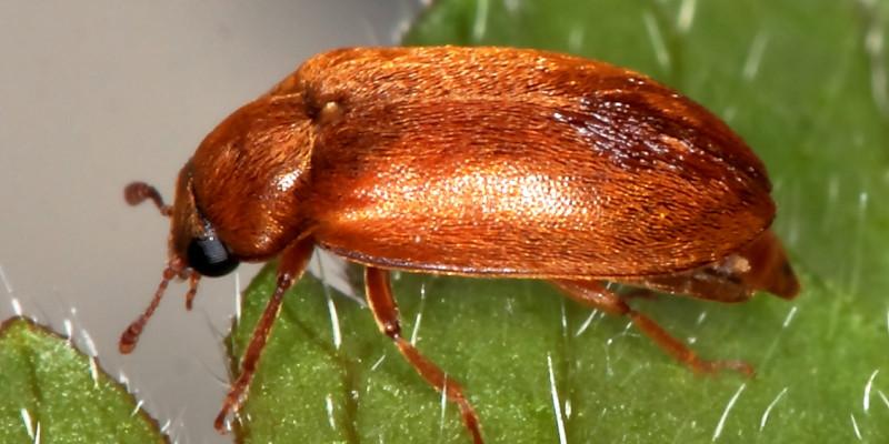 Himbeerkäfer