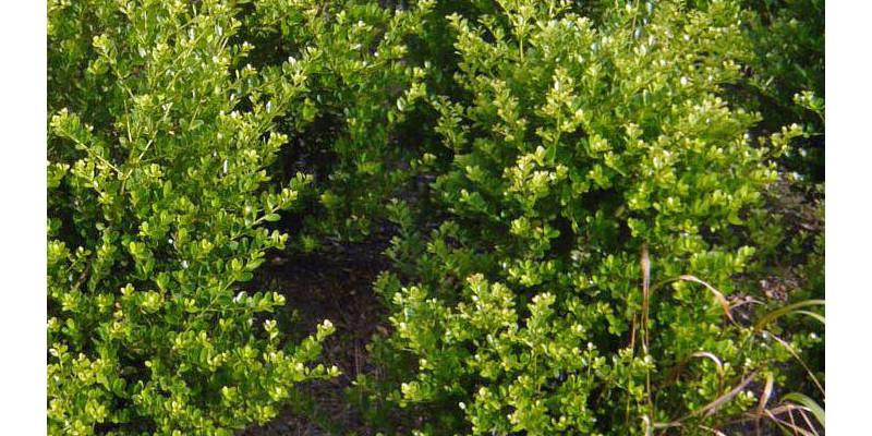Japanische Stechpalme (Ilex crenata)