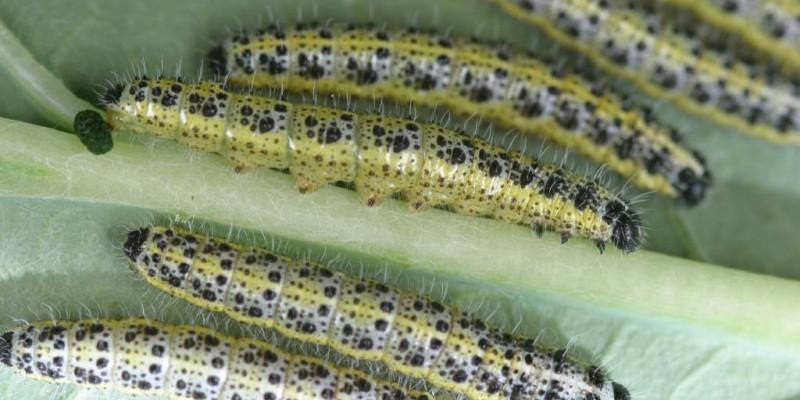 Die Raupen des Großen Kohlweißlings auf der Unterseite eines Blattes