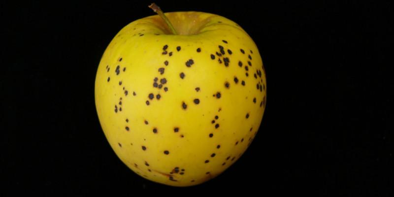 Mit Lagerschorf befallene gelbe Frucht