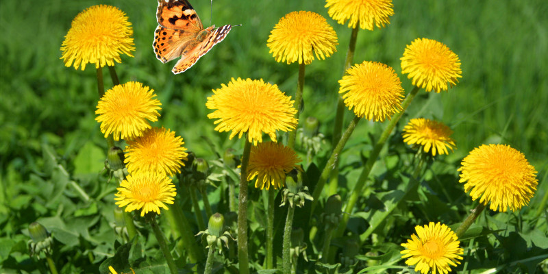 Ein Bund Löwenzahn (Taraxacum officinale) mit einem Schmetterling