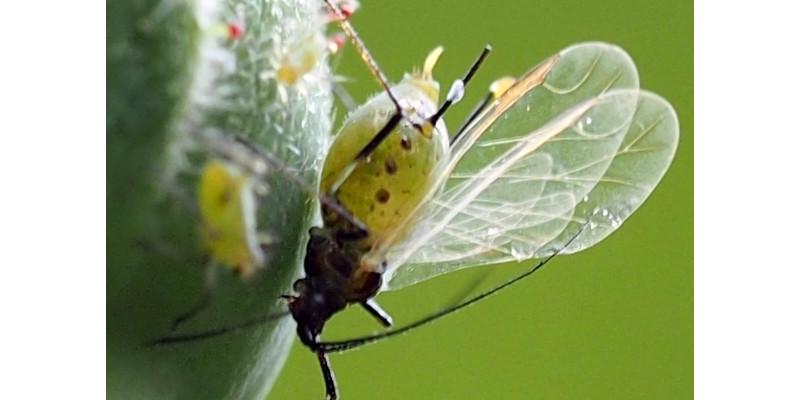 Eine geflügelte Blattlaus auf einer Rosenknospe
