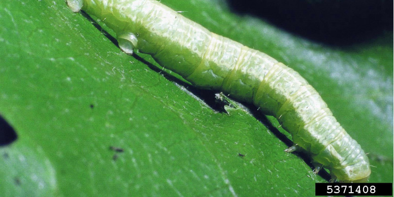 Nahaufnahme einer grünen Raupe auf einem Blatt