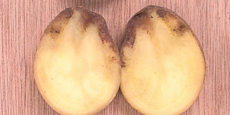 Kartoffeln mit Symptomen der Kraut- und Knollenfäule