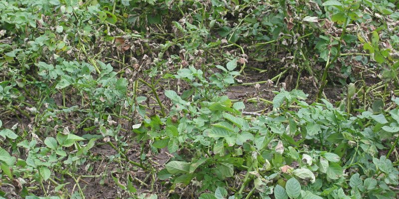 Kartoffelpflanzen mit Welkeerscheinungen durch die Kraut- und Knollenfäule.
