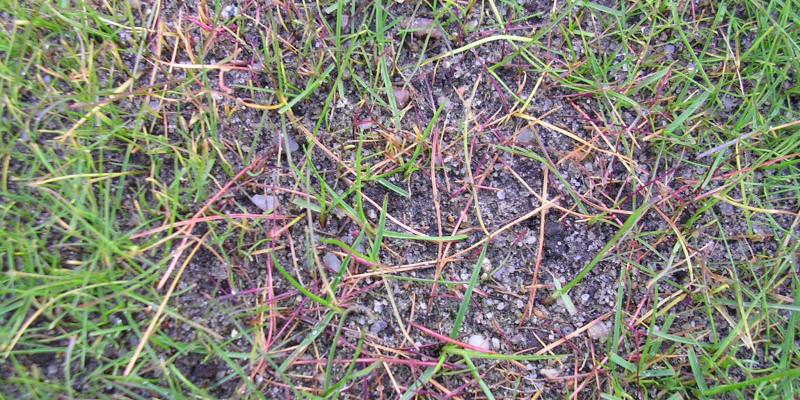 Pythium-Fäule (Pythium spp.)