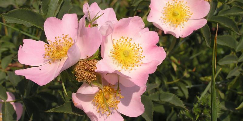 Hunds-Rose (Rosa canina)